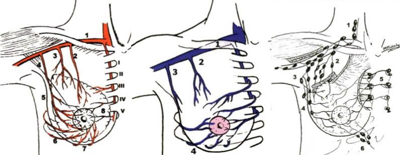Los ganglios linfáticos y los senos