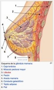 Componentes anatómicos de la mama